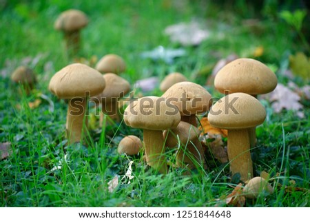Phaeolepiota aurea, Golden Bootleg mushroom