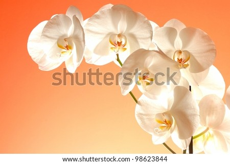 Phalaenopsis big white flowers
