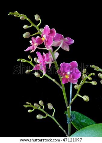 Phalaenopsis Caribbean Sunset x Rainbow Chip - stock photo