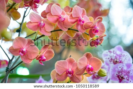 Phalaenopsis flowers bloom in spring adorn the beauty of nature. This is the most beautiful orchid decorated in the house to help people close to nature