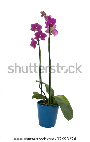 phalaenopsis flowers in a pot (full view) #97693274