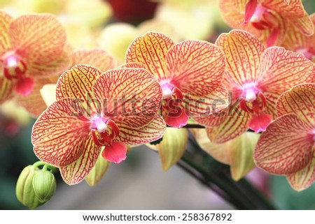 Phalaenopsis,Moth Orchid flowers,beautiful red with yellow flowers in full bloom in the garden in spring