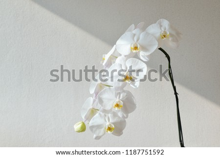 Phalaenopsis orchid by the window