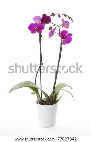Phalaenopsis orchid in flower pot #77027842