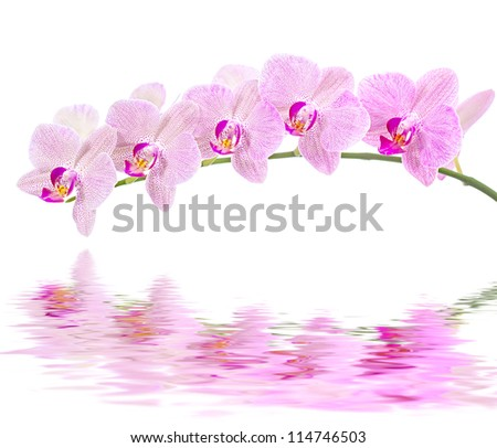 Phalaenopsis. Orchid on white background and water reflection