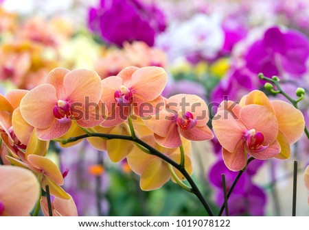 Phalaenopsis orchids flowers bloom in spring adorn the beauty of nature.