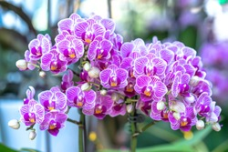 Phalaenopsis orchids flowers bloom in spring adorn the beauty of nature, a rare wild orchid decorated in tropical gardens