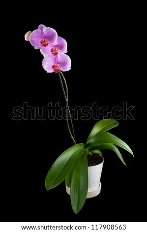 Phalaenopsis - Tropical Orchid against black Background with clipping path