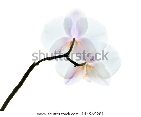 Phalaenopsis. White orchid flowers isolated on white background. Back side