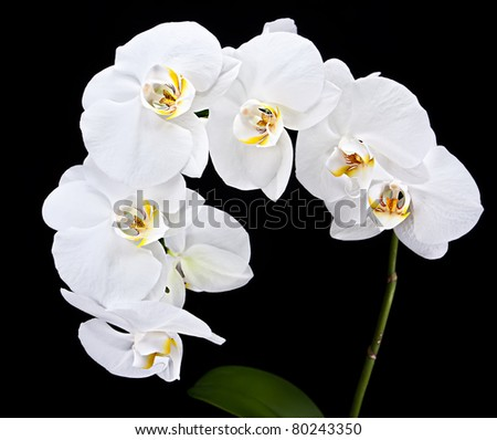 Phalaenopsis. White orchid on black background - stock photo