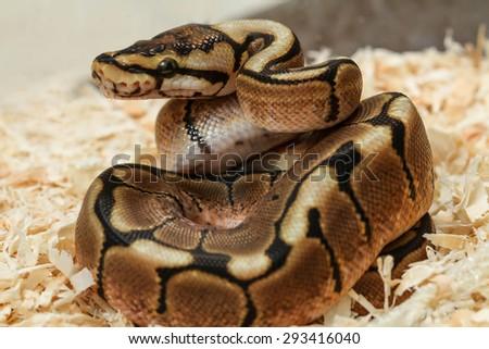 phantom ball python (Python regius)