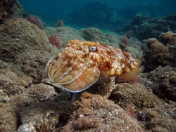 Pharaoh Cottlefish. Mollusks, type of Mollusk. Head-footed mollusks. Cuttlefish detachment. Pharaoh cuttlefish.