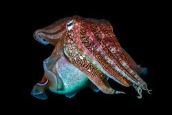 Pharaoh Cuttlefish (Sepia pharaonis) on a dark tropical coral reef in Thailand (Richelieu Rock).