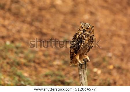 stock-photo-pharaoh-eagle-owl-is-waiting