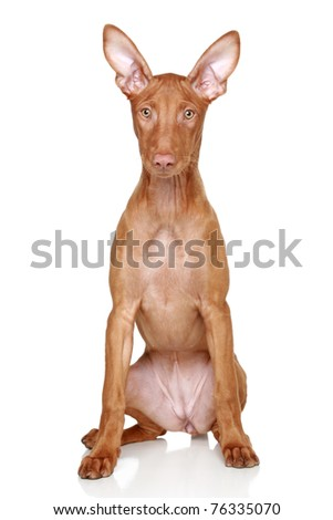 Pharaoh hound puppy sits on a white background