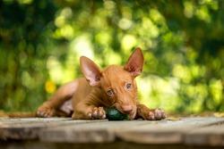 Pharaoh's red dog eating