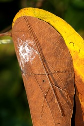 Phasmatodea, Stick insects on leaf