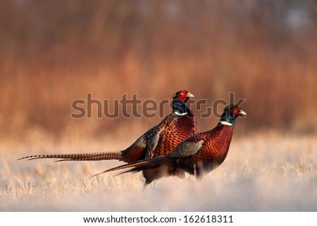 Stock Photo pheasant