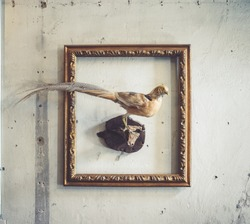 Pheasant. A taxidermy animal of a pheasant place in the vintage photo frame. Although they can be found anywhere, the pheasant bird native range is restricted to Asia.