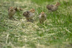 Pheasant chicks on Schiermonnikoog, the Netherlands