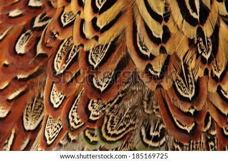 Pheasant feather  #185169725