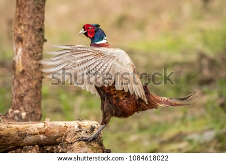 Pheasant, male, displaying on a woodpile, in a forest, in the Springtime #1084618022