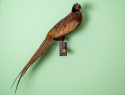 pheasant taxidermy. color photo of wild pheasant on the wall