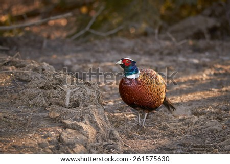 Pheasant walking on the ground day in the sunny early spring day in Finland. Shot with the flash for brighter colors.