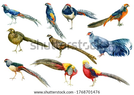 pheasants, watercolor drawings on a white background, hand drawing, colorful birds Foto stock ©