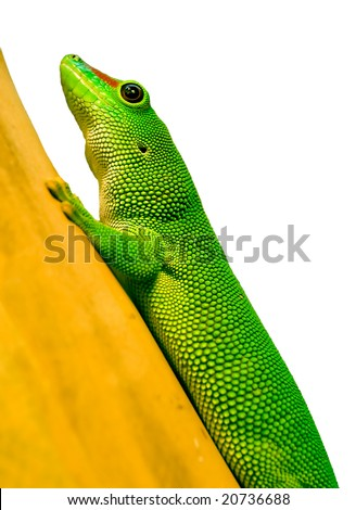 Phelsuma madagascariensis grandis,partial isolated on white background