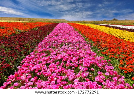 Phenomenally beautiful multi-colored flower fields. Garden buttercups /ranunculus/ of bright contrast colors blossom picturesque strips