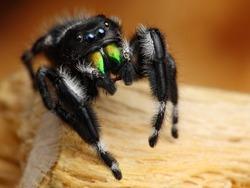 Phiddipus Audax US common jumping spider 2
