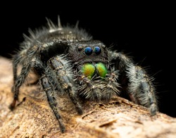 Phidippus audax is a common jumping spider of North America. It is commonly referred to as the daring jumping spider, or bold jumping spider. The spider belongs to the genus Phidippus.