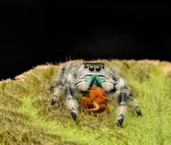 Phidippus regius spider with its prey