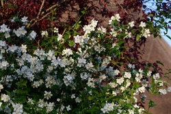 Philadelphus Belle Etoile  Mock Orange full of white scented flowers growing up the side of a cottage