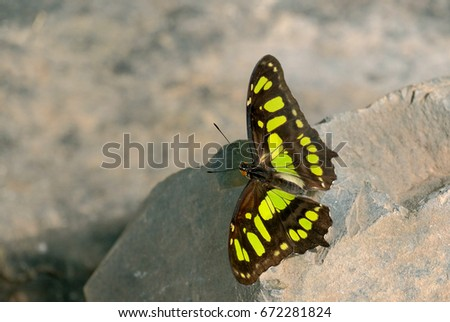 Philaethria Dido, tropical butterfly On the rocks