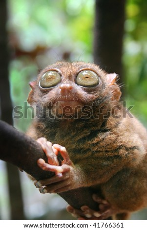 philippine tarsier - stock photo