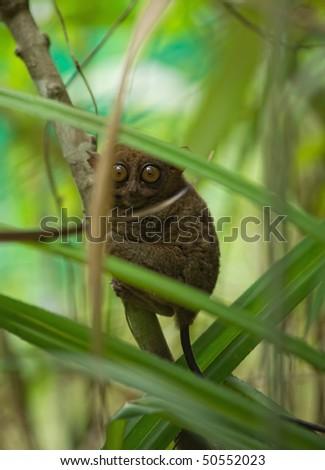 Philippine tarsier - stock photo