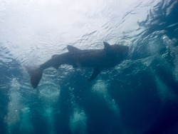 Philippines under-sea. scubadiver take a photo of Whale shark (Rhincodon typus)