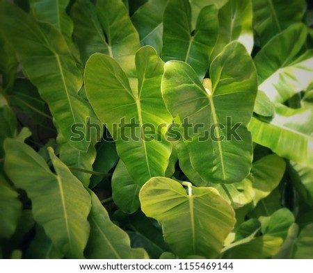 Philodendron 'Burle Marx' is an easy to grow tropical plant, houseplant or outdoors. It well suited for interiorscapes, containers and landscape. Clumping round or vine, simple heart shaped leaves. #1155469144