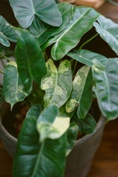 Philodendron burle marx Variegated Mixed Colors Leaf Foliage Houseplant