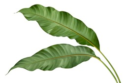 Philodendron leaf tropical isolated on white background, low angle view.