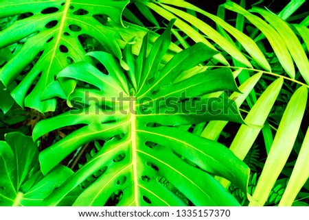 Philodendron monstera obliqua (Monstera deliciosa, the ceriman or swiss cheese plant) green leaf background