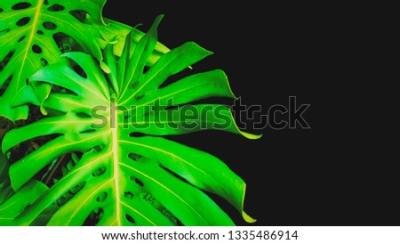 Philodendron monstera obliqua (Monstera deliciosa, the ceriman or swiss cheese plant) green leaf background with copy space