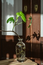 Philodendron pedatum Florida squamiferum, old barn with fresh green leaves, indoor plant propagation, upcycling the old rum botle, leaf liten by the sun and the shadow in the background