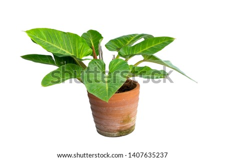 Philodendron (Philodendron sp. 'Ruaysap') is one of three subgenera within the genus Philodendron. Ornamental plants for decoration tropical garden in thailand. isolated #1407635237