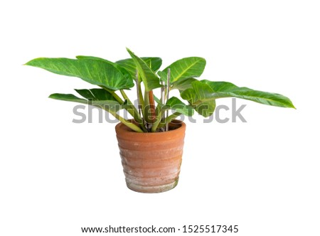 Philodendron (Philodendron sp. 'Ruaysap') is one of three subgenera within the genus Philodendron. Ornamental plants for decoration tropical garden in thailand. isolated #1525517345