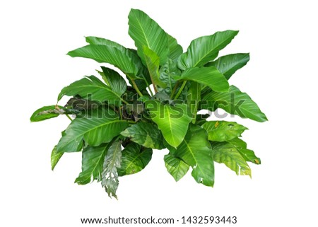 Philodendron (Philodendron sp. 'Ruaysap') plant, isolated on white background, with clipping path #1432593443