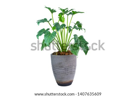 Philodendron (Philodendron xanadu Croat, Mayo & J.Boos) in modern vase. isolated on white background #1407635609