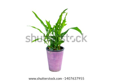 Philodendron (Philodendron xanadu Croat, Mayo & J.Boos) in modern vase. isolated on white background #1407637955